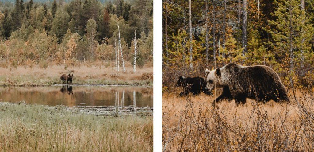 bruine-beren-finland