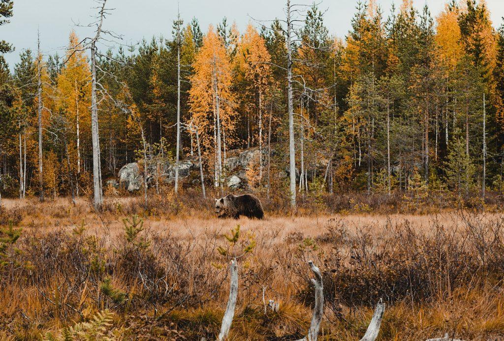beren-fotograferen-finland